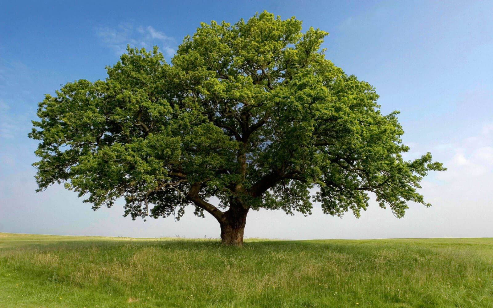 oak-tree-in-field2